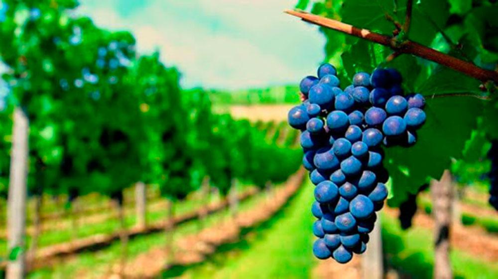 O Chile e a uva carménère